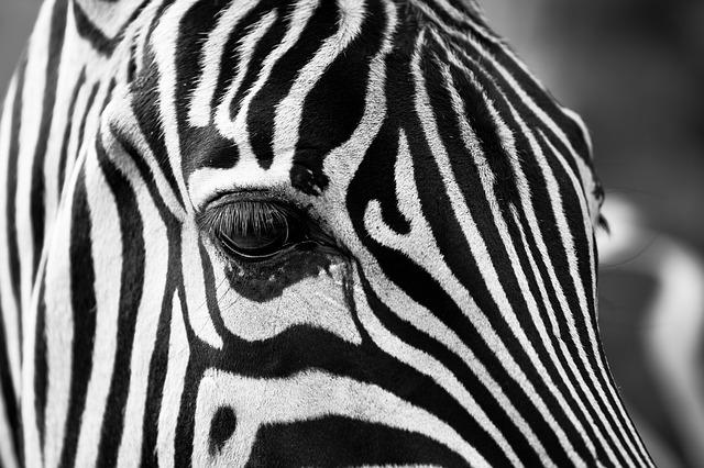hlava zebry